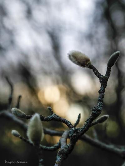 buds_20150208_magnolia