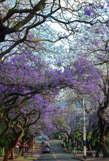 Jacaranda Tree, Pretoria, South Africa