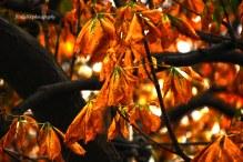 Mapple Leaves in Autumn in Istanbul, Turkey.
