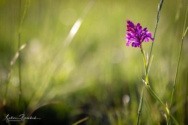 Orchideenwiese Taubergießen