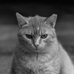 pisicile din curte