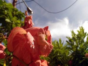 bunga embun