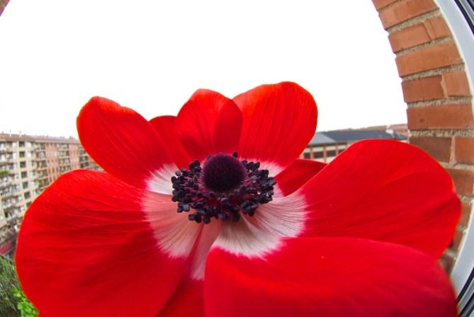anemona (4)