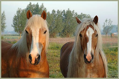 paarden-83