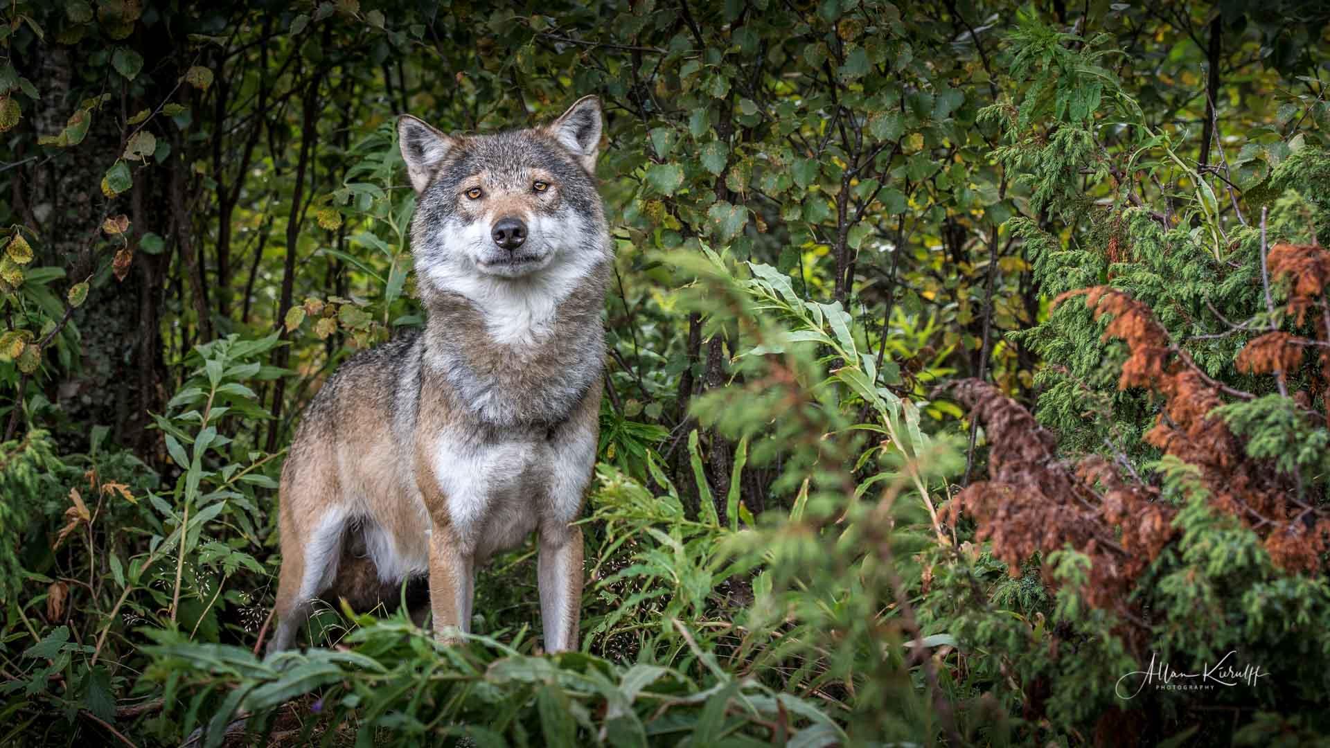 Blandt ulv og los