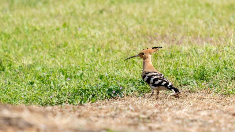 danske-og-nordiske-fugle-haerfugl