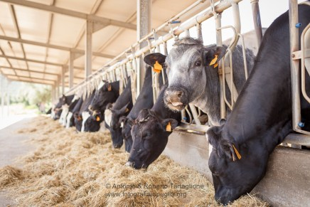 Allevamento bovini nella Masseria del Duca, sede operativa dell'Azienda Agricola Fratelli Cassese, titolare del marchio InMasseria
