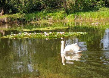 Wörlitzer See mit Schwan