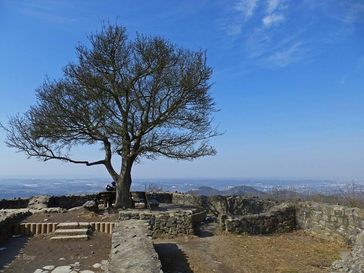 Der berühmte Baum an der Löwenburgruine