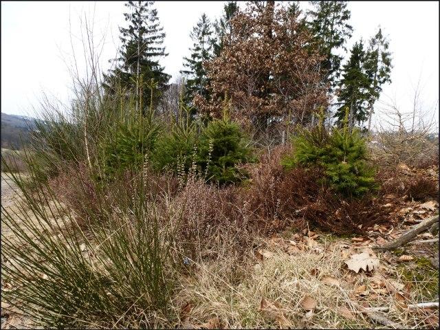 Ginster und Heide, eine gelungene Farbkomposition