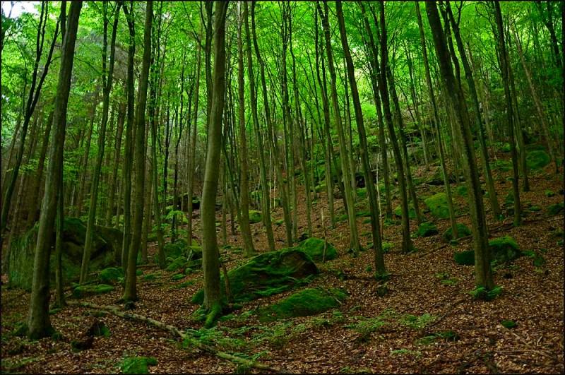 Moosige Steinbrocken von riesigen Ausmaßen liegen zwischen den schmalen Baumstämmen herum