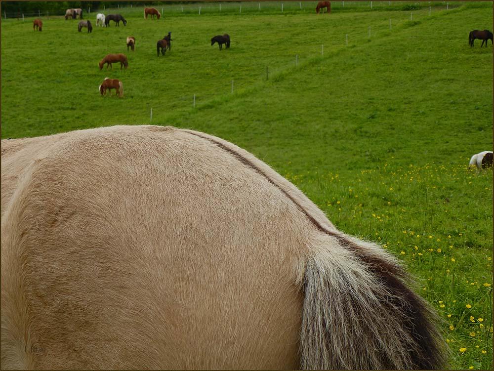Der Alstrich ist ein typisches Erkennungszeichen von Wildpferden, also eines von...