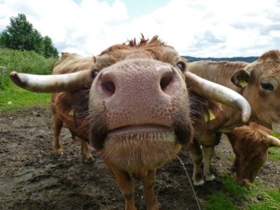 Wandern rund um Kürten Biesfeld - Kuhgesicht