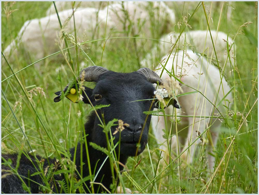 Auch unter den Tieren gibt es schwarze Schafe.