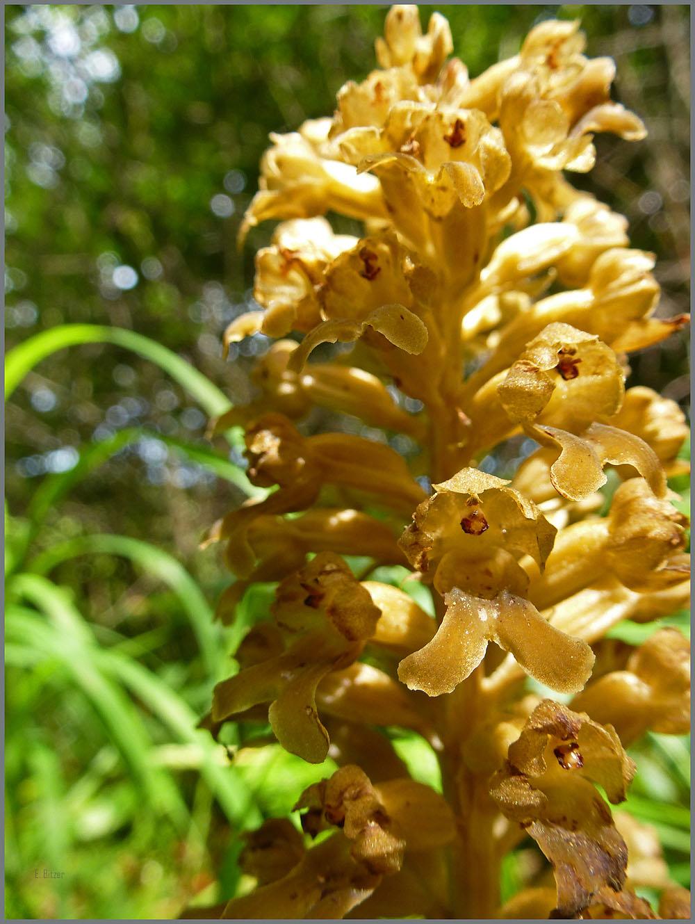 Vogelnestwurz Orchidee