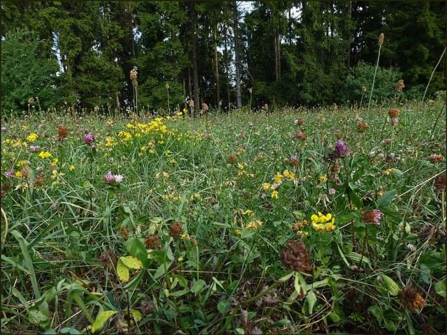 Hartnäckig blüht der Wiesenklee und ein paar andere Trockenrasenblümelein