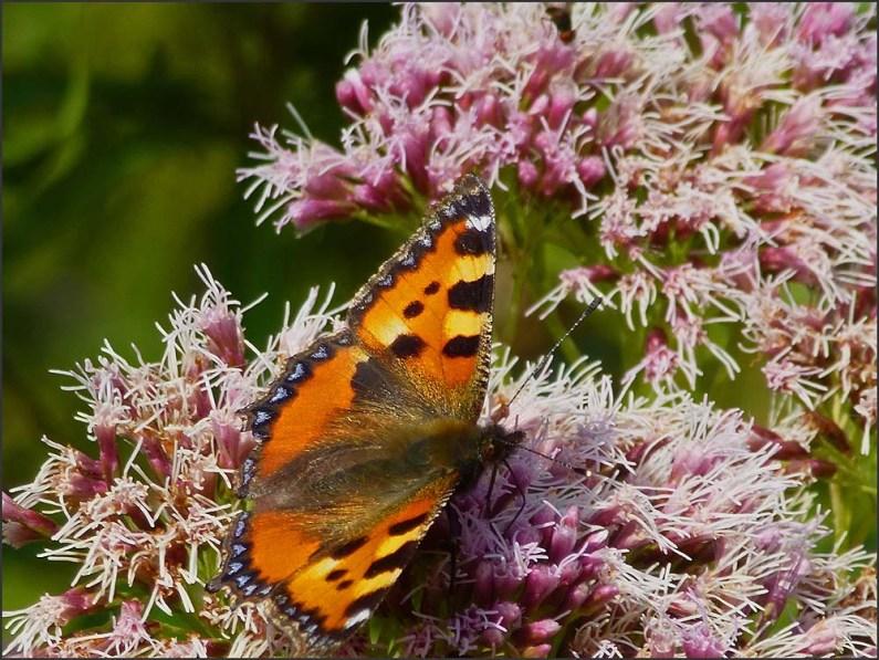 Schmetterlinge auf Wasserdost - Felderbachtal in der Elfringhauser Schweiz