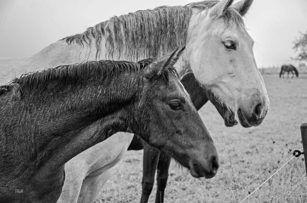 Schwarz Weiß Bild - Pferde