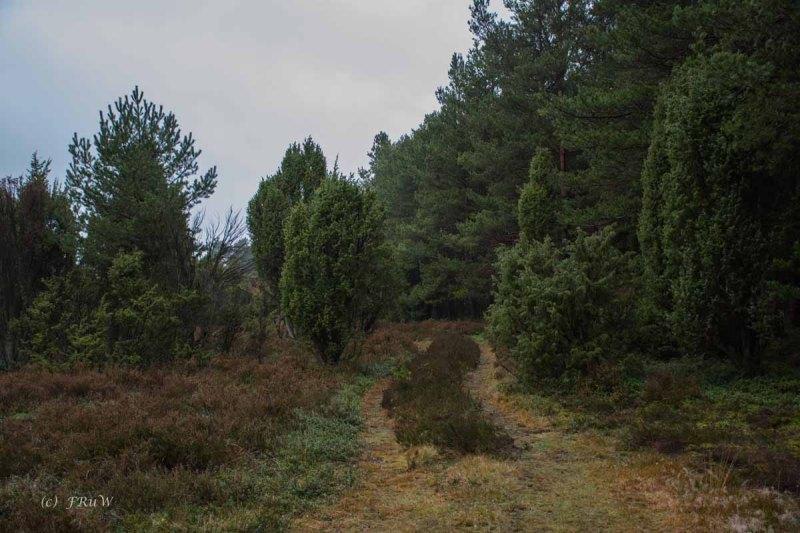 Wacholderwald in der Teufelsheide