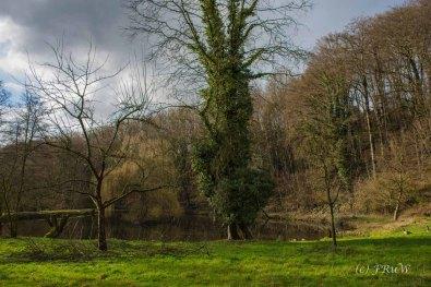 Eine Kopfweide steht mitten im Teich
