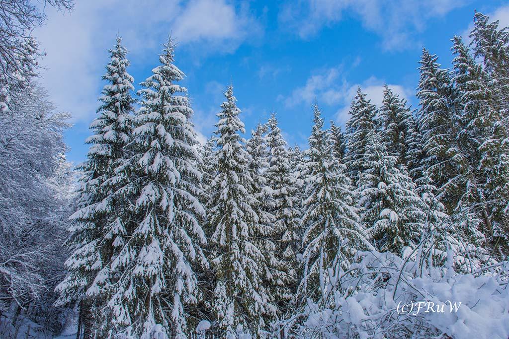 Schnee bedeckte Tannen