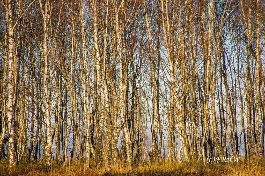 Ein natürlicher Sichtschutz aus Birken