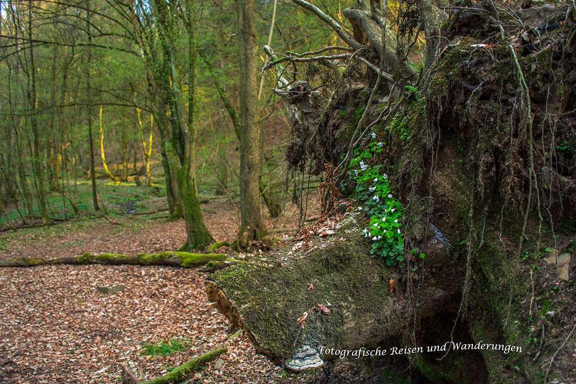 Buschwindröschen wachsen auch auf den Resten eines Baumriesen