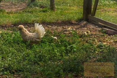 Hinter der Henne, kaum sichtbar, ein Flaumbällchen, das später mal so groß wie Mama sein wird.