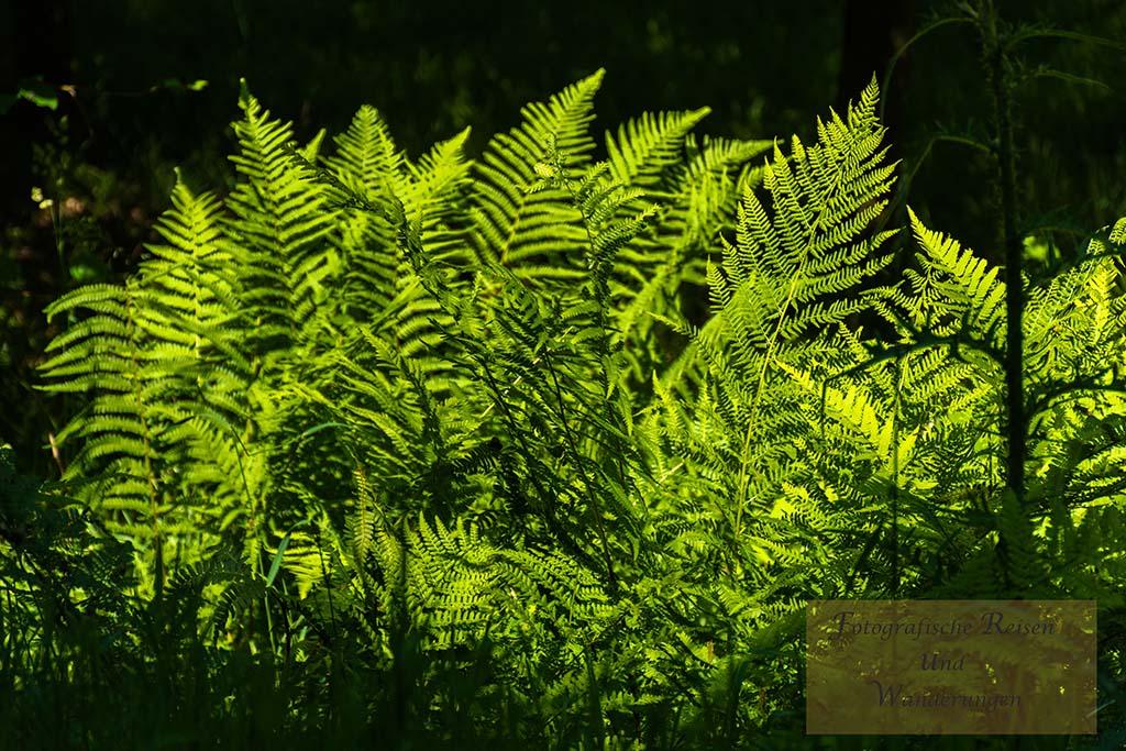 Naturdenkmal Sechs Eichen - Farne in der Sonne