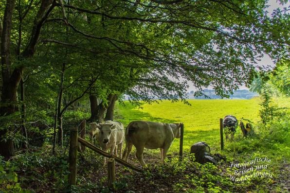 Niederländische Rindvicher im Schatten der Bäume