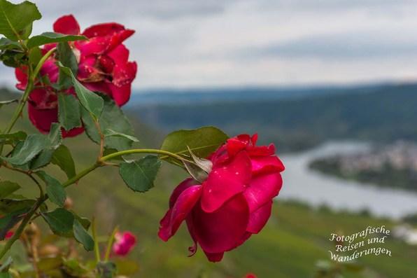 Rosen an der Domgartenhütte