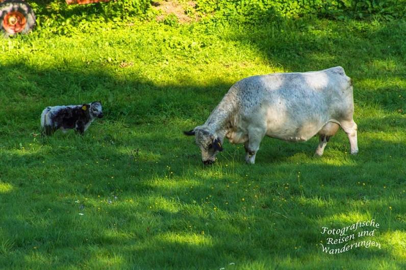 Scheckige Kuh mit Nachwuchs