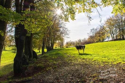 Die Kühe haben auf den großen Weiden eine Menge Platz
