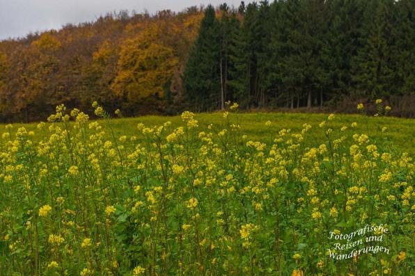 Winterraps vor dem Herbstwald