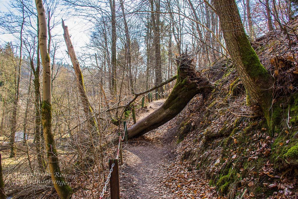 Baum im Weg auf dem Burscheider Schluchtenpfad