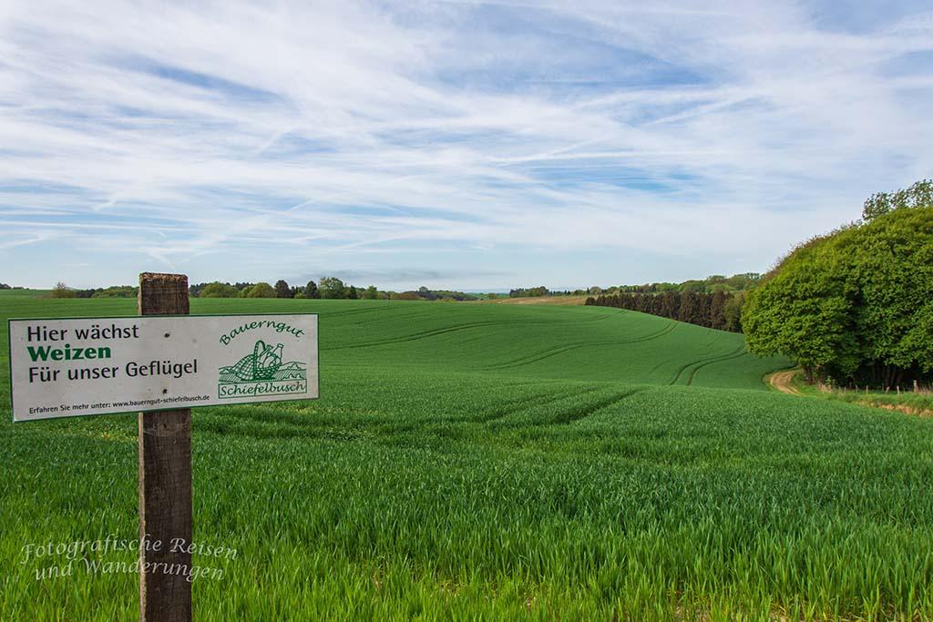 Weizenfelder auf dem Bauernhofweg in Lohmar