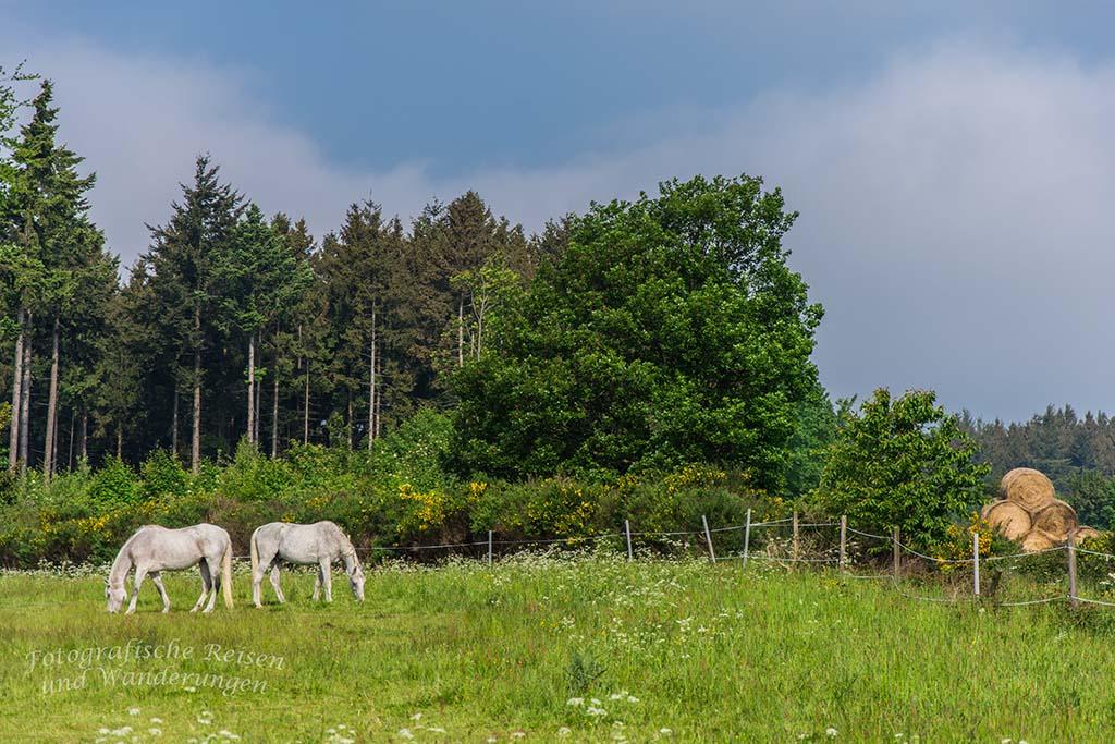 Pferdchen in Spessart in der Eifel