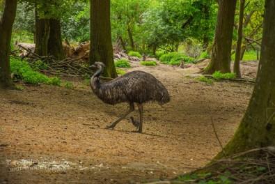 Emu mit Küken