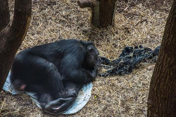 Die Chimpansen pennen