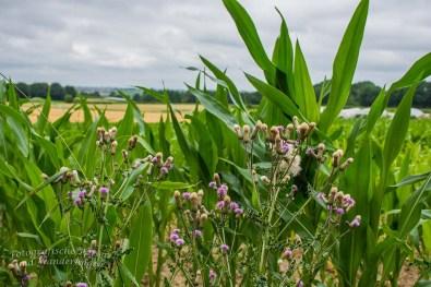 Der Mais gewinnt schon ordentlich an Höhe