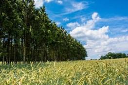 """Die Komposition """"Hohe Tannen und Getreidefelder"""" ist zum fotografieren schön"""