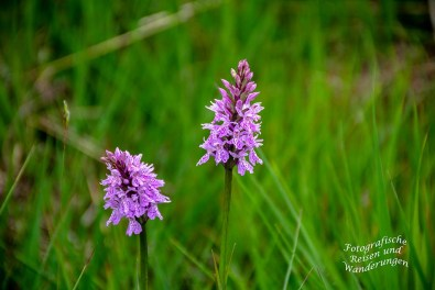 Orchideen auf der Hornisgrinde (Knabenkraut)