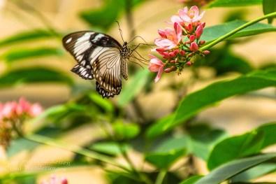 Schmetterlingsgarten Sayn (25)