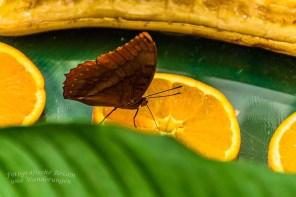 Schmetterlingsgarten Sayn (46)