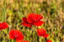 Die letzten Mohnblumen -Über die Höhen der Ahreifel
