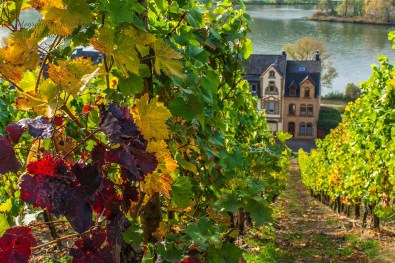 Herbstliches Laub in den Weinbegen