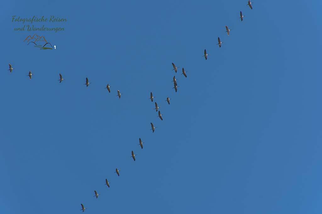 Zugvögel in Formation
