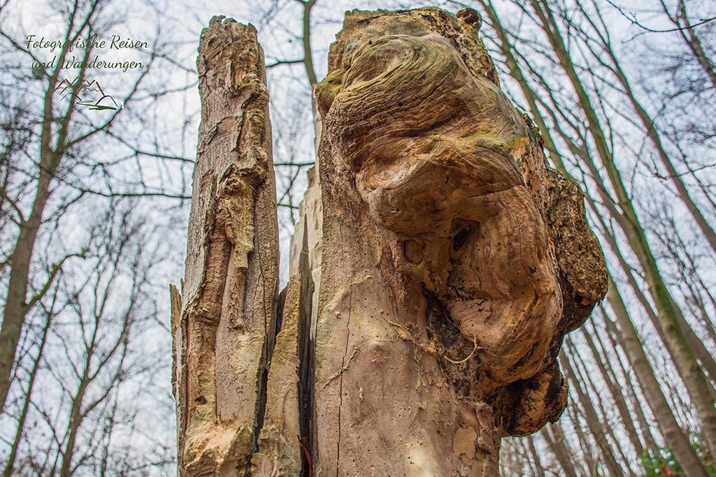 Baumstumpf mit Wucherung