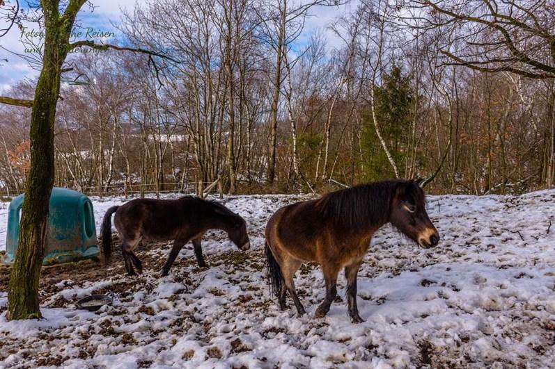 Exmoor-Ponys im Steinbruch