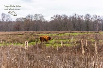 Eines der friedlich grasenden Galloway Rinder